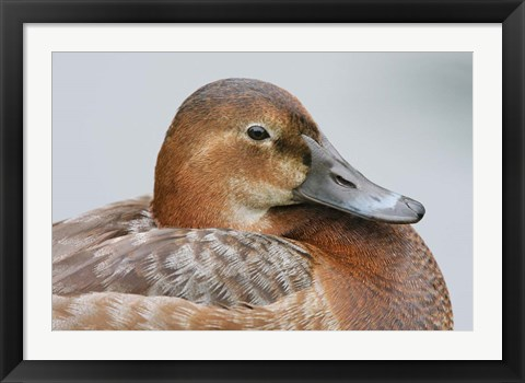 Framed England, London, Pochard Duck Print