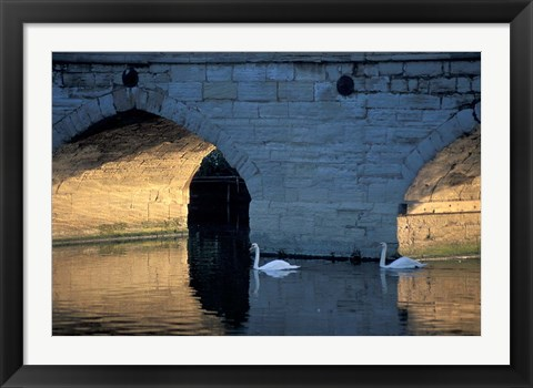 Framed Swans in River, Stratford-on-Avon, England Print