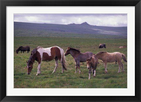 Framed Horses of Dartmoor, Devon, England Print