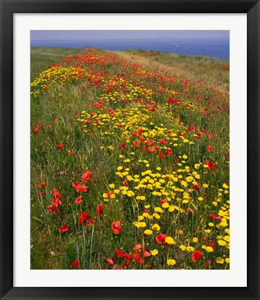 Framed Poppies in Studland Bay, Dorset, England Print