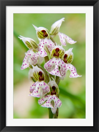 Framed Orchid in bloom, Crete, Greece Print