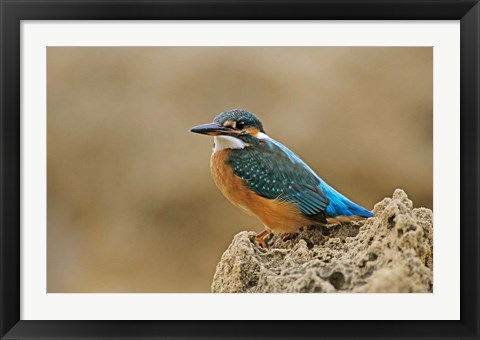 Framed Common Kingfisher bird, Cliff, Cyprus Print