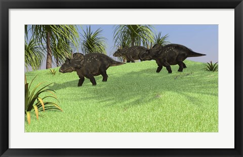 Framed Three Triceratops Walking across an Open Field Print