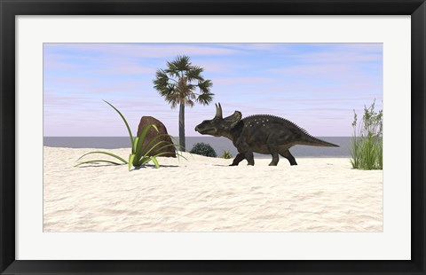 Framed Triceratops Walking along a Prehistoric Beach Landscape Print