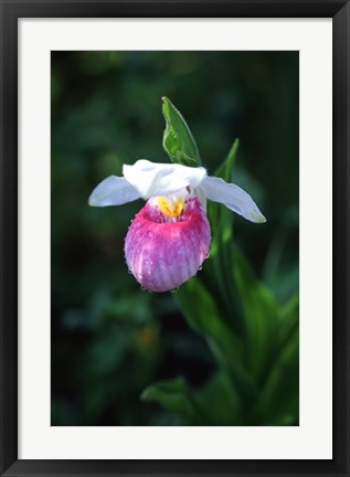 Framed Lady Slipper Print