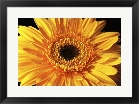 Framed Gerbera Flower Print