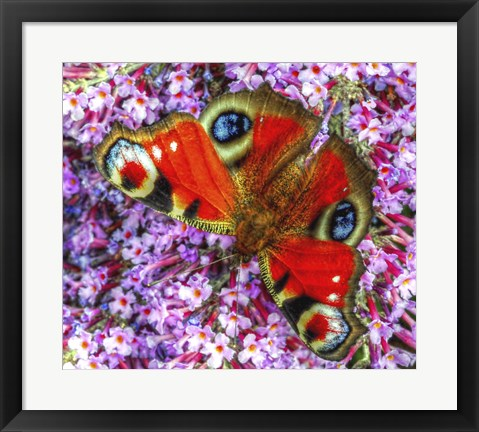 Framed Peacock Butterfly 2 Print