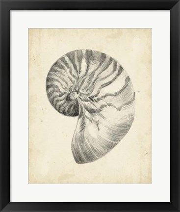 Framed Antique Shell Study I Print