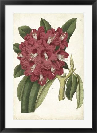 Framed Antique Rhododendron II Print