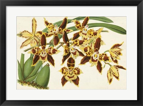 Framed Graceful Orchids I Print
