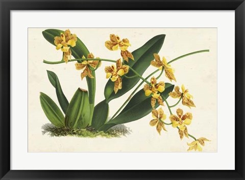 Framed Graceful Orchids III Print