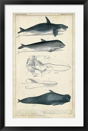 Framed Antique Whale & Dolphin Study I Print
