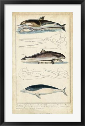 Framed Antique Whale & Dolphin Study II Print
