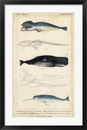 Framed Antique Whale & Dolphin Study III Print