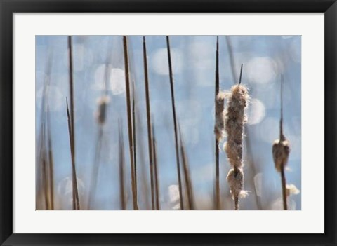 Framed Light Dance on Cattails I Print