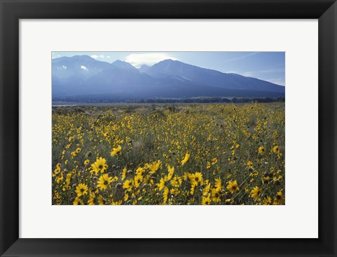 Framed Colorado Mtns Daisies Print