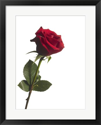 Framed Red Rose 1 Print