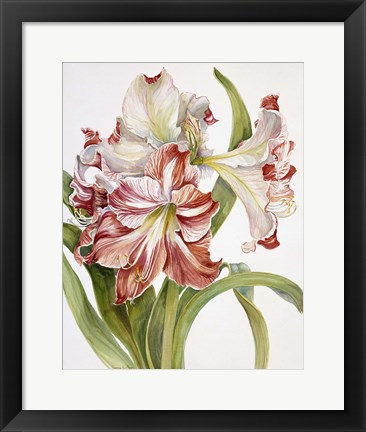 Framed Red And White Amaryllis Print