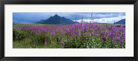 Framed Blooming Fireweed in Ogilvie Mountains Print