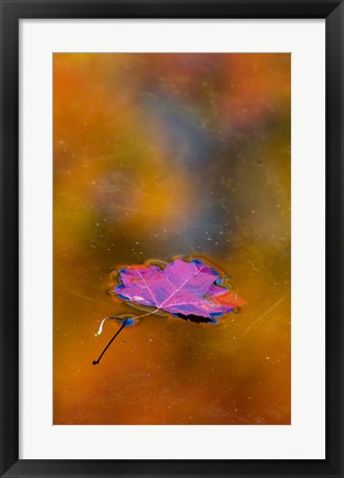 Framed Quebec Autumn Leaf on Pond Print