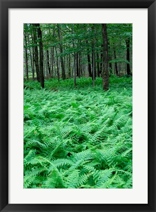 Framed Quebec Maple Tree Forest Print