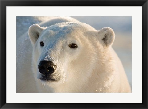 Framed Canada, Manitoba, Hudson Bay, Churchill Polar bear Print