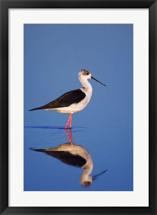 Framed Black-Winged Stilt Bird Print