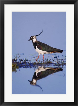 Framed Northern Lapwing Butterfly Print