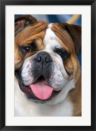 Framed English Bulldog in Belgium Print