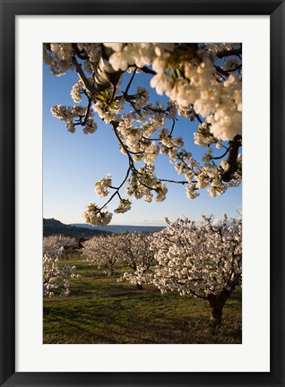 Framed Cherry Blossoms in France Print