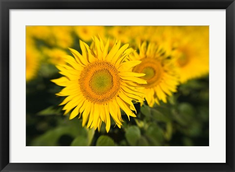 Framed Sunflower Field in France, Provence Print