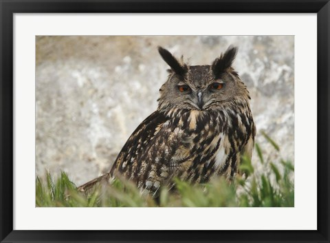 Framed Eagle Owl, France Print