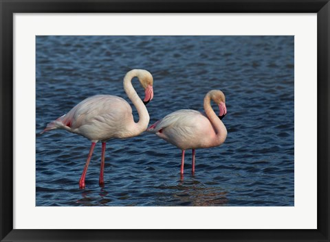 Framed Greater Flamingo bird, Camargue, France Print