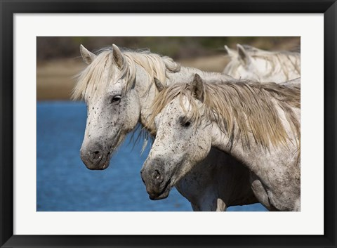 Framed Camargue Horses Run through Water Print