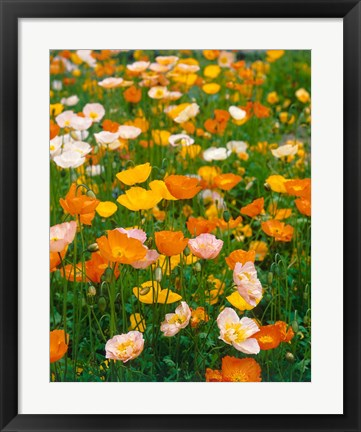 Framed Poppies, France Print