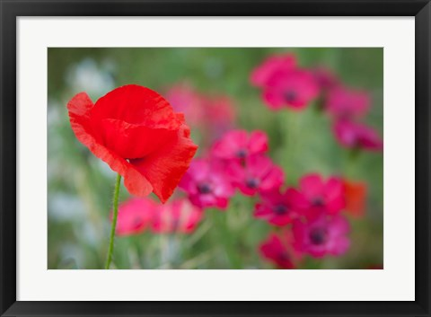Framed Red Poppy in Wildflower Field Print