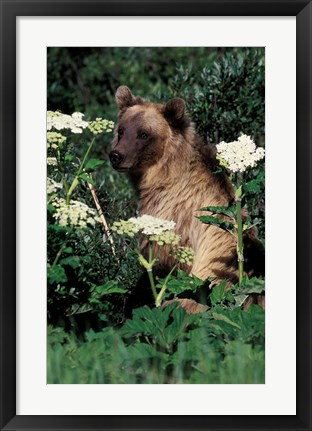 Framed Grizzly Bear in Canada Print