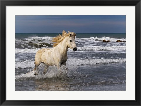 Framed Camargue Horse in the Surf Print