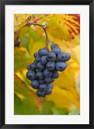 Framed Beaujolais Red Grapes in Autumn Print