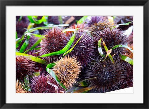 Framed Street Market Stall with Sea Urchins Oursin, France Print