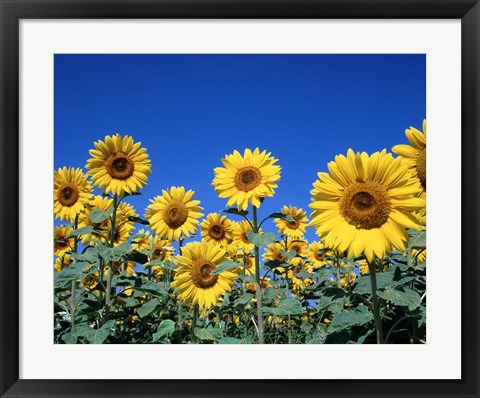 Framed Sunflowers, France Print