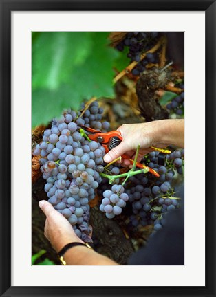 Framed Vineyard Worker Harvesting Grenache Noir Grapes Print