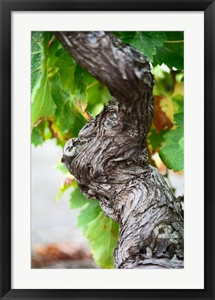 Framed Branch of Old Vine with Gnarled Bark Print