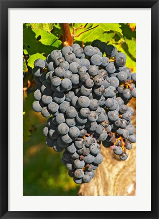 Framed Petit Verdot Vineyard, Chateau Pey la Tour, France Print