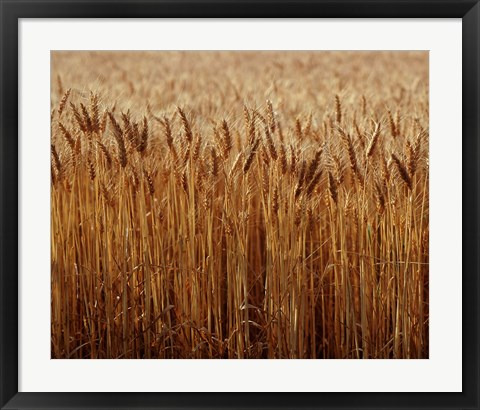 Framed Field of Wheat, France Print