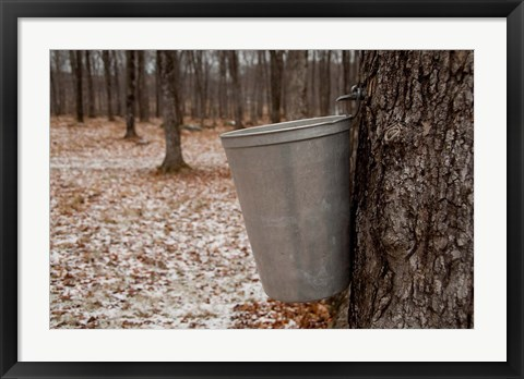 Framed Maple Trees in Quebec Print