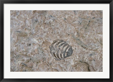 Framed Fossilized Creatures on Akpatok Island Print