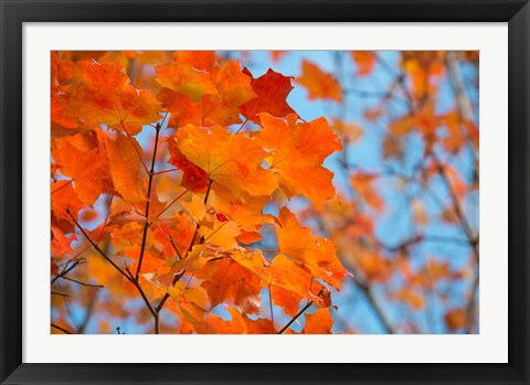 Framed Colorful Maple Leaf Trees Print