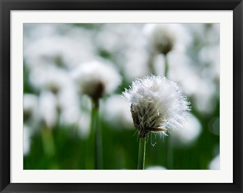 Framed White Cottongrass, Austria Print