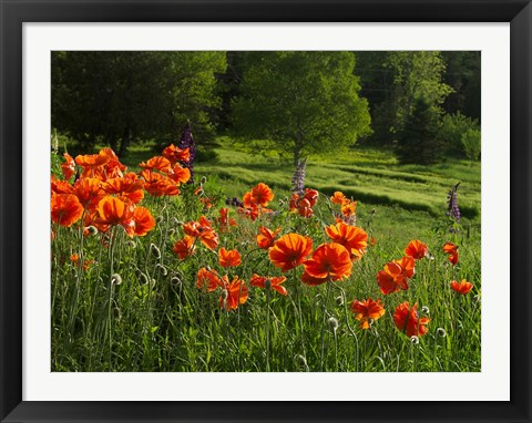 Framed Shampers Bluff Poppies Print